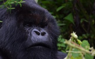 Best time to go gorilla trekking in Rwanda