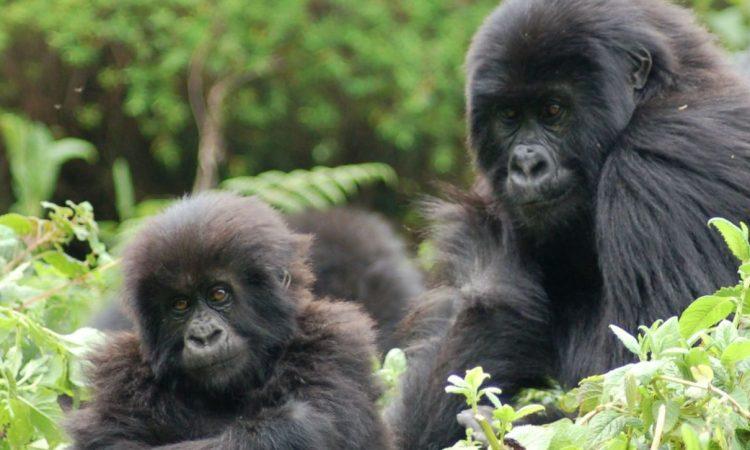 2018 Mountain Gorilla Census