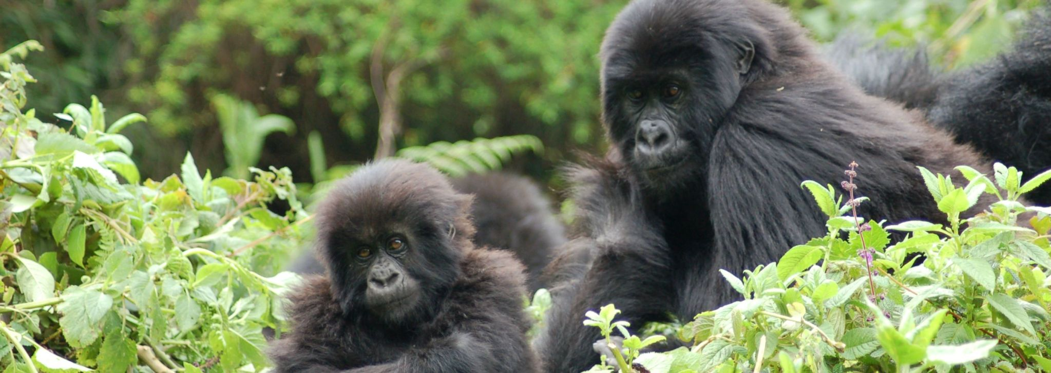 2018 Mountain Gorilla Census
