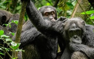 Are Chimpanzees Endangered