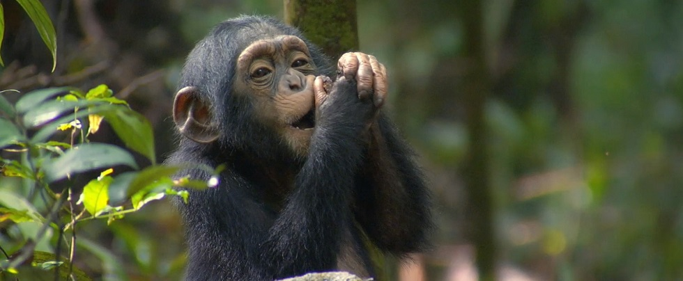 Best time to Go Chimpanzee Trekking in Uganda