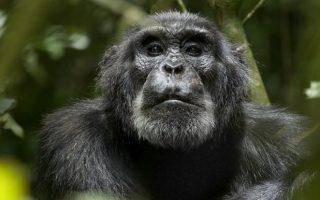 Chimpanzee Behavior