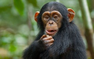 Chimpanzee Diet & Feeding Habits