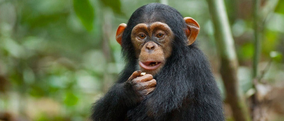 Chimpanzee Diet & Feeding Habits