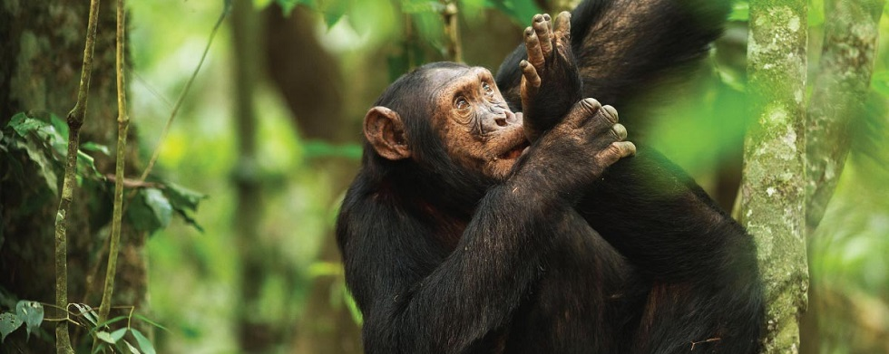 Chimpanzee Trekking Age Limit