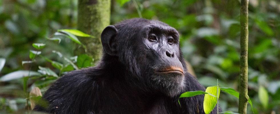 Chimpanzee Trekking Permits