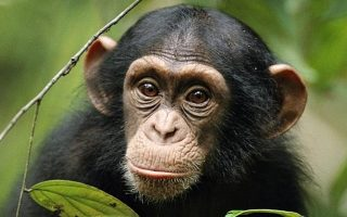 Common Chimpanzees
