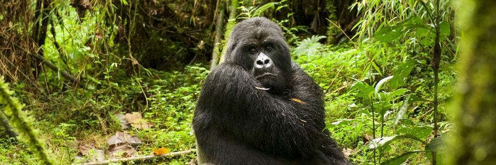 Gorilla Filming in Rwanda