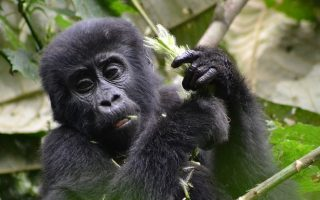 Gorilla Filming in Uganda