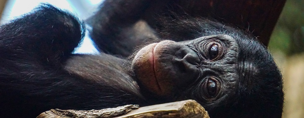 How do Chimpanzees adapt to the environment