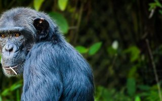 How Strong are Chimpanzees