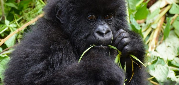 How to book your last minute gorilla safari