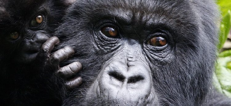 Is Gorilla Trekking safe?
