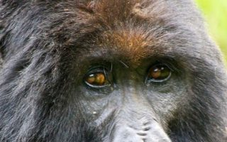 Low Season Gorilla Permits in Uganda
