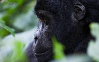 Luxury Gorilla Habituation