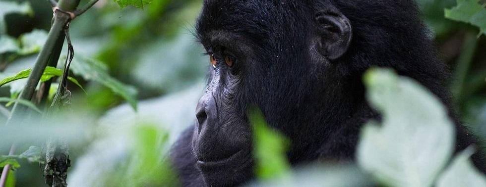 Luxury Gorilla Habituation
