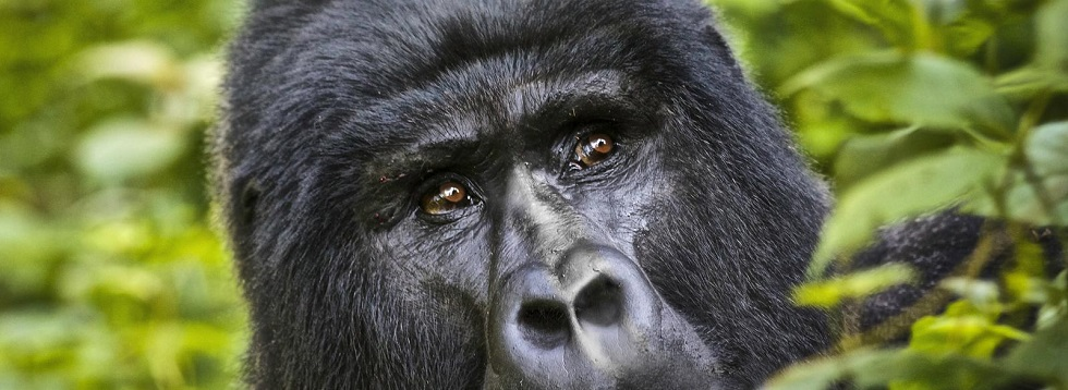 Mountain Gorilla Reproduction & Mating Habits