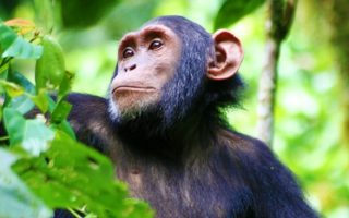 Strange Facts about Chimpanzees