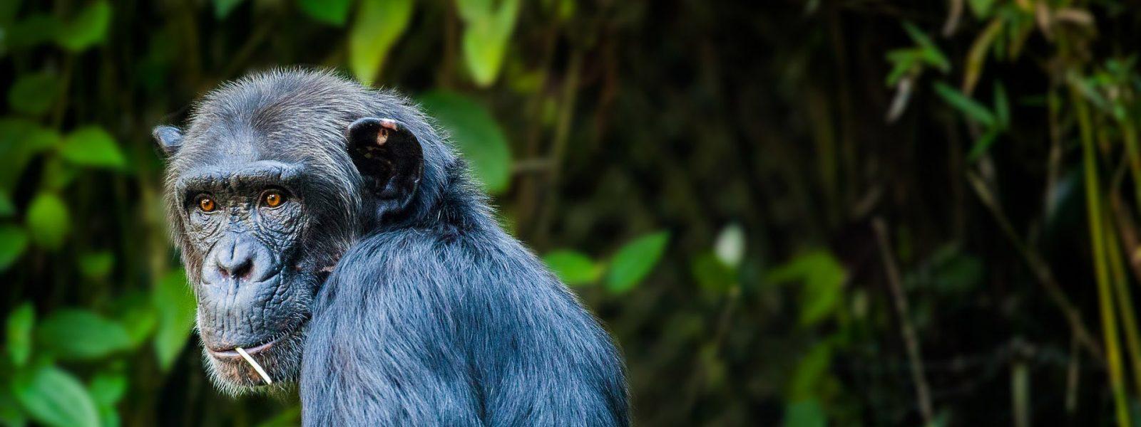 Africa Chimpanzee Trekking