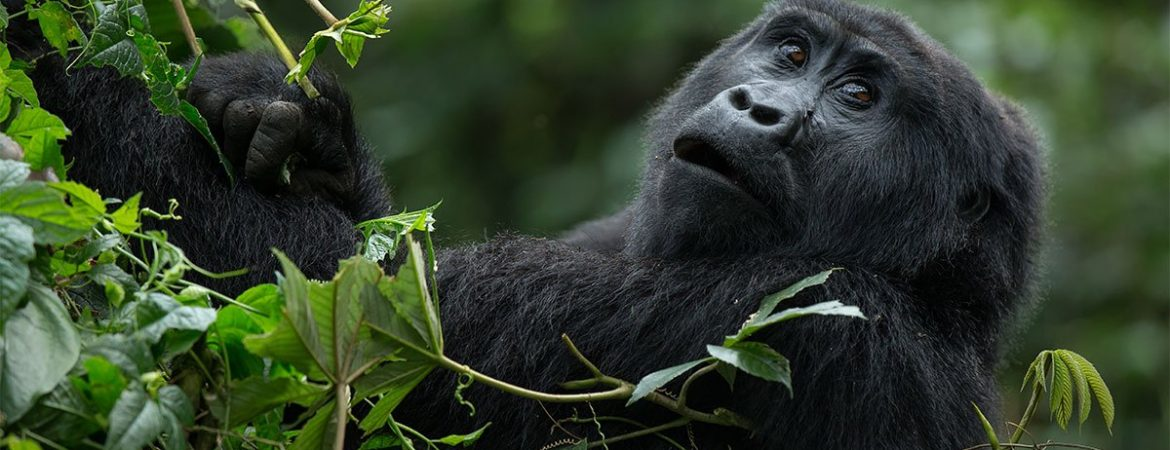 Full List of Uganda Gorilla Families
