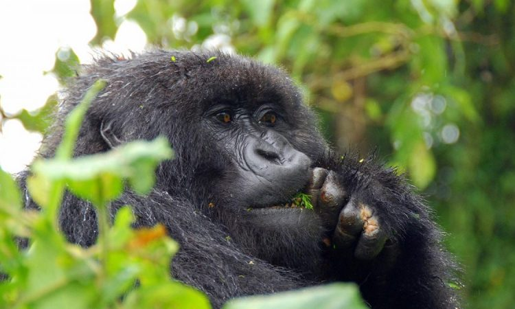 Tipping Guide for Gorilla Trekking