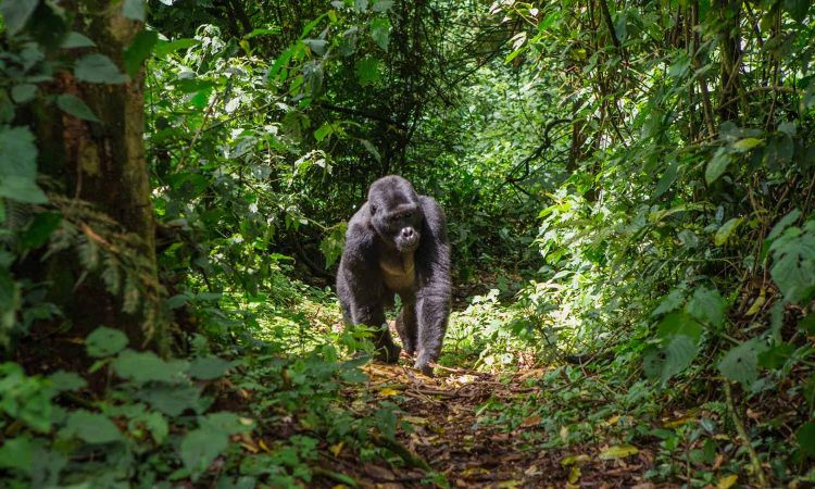 Trekking Gorillas in The Dry Season
