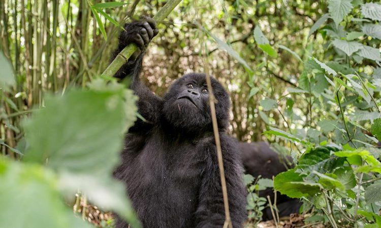 Uganda Gorilla Filming Permits
