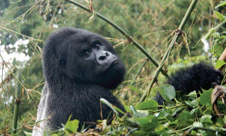 Uganda Gorilla Habituation from Kigali