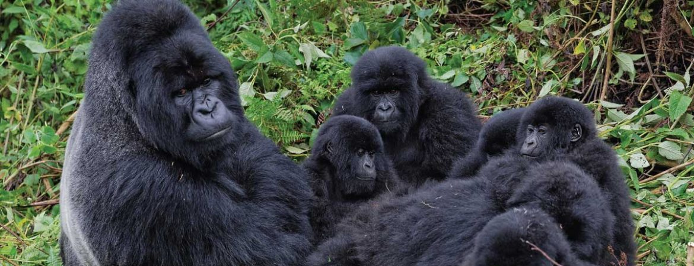 Umubano Gorilla Group