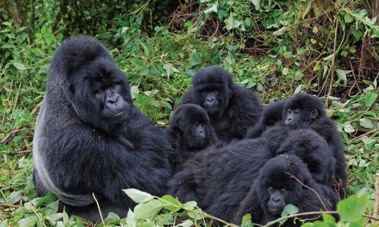 Umubano Gorilla Group