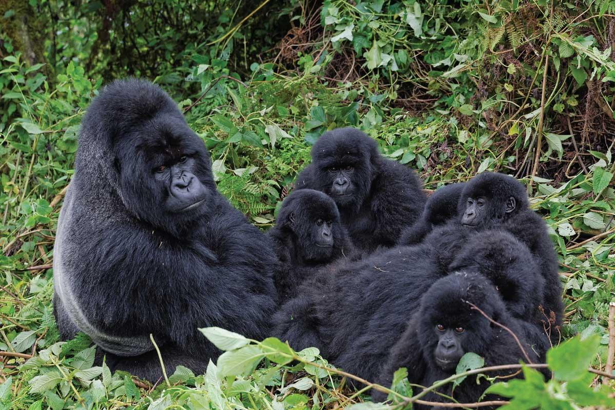 [TORNEO] The Animals: La Finale! Umubano-Gorilla-Group
