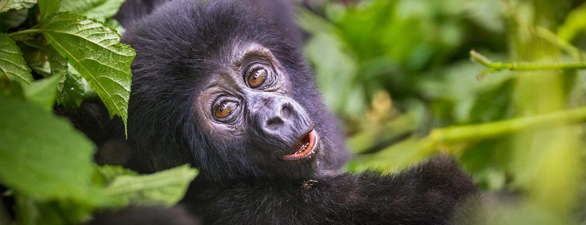 What is a Gorilla Trekking Certificate