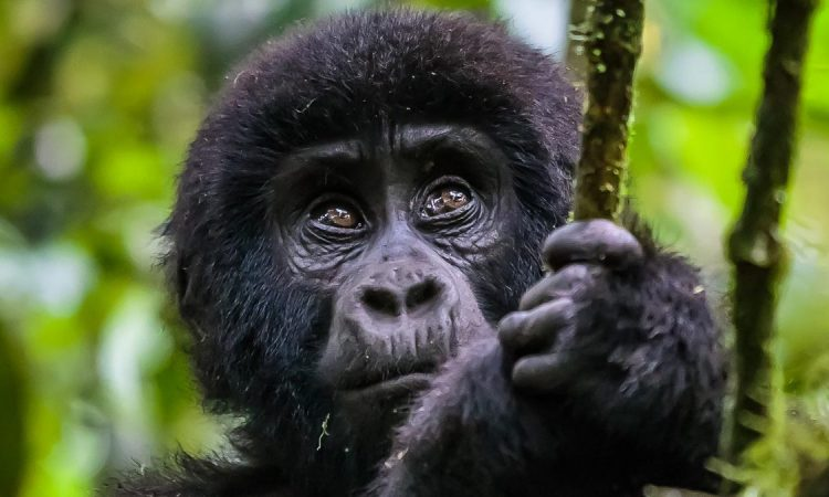 What is the Largest Species of Gorillas