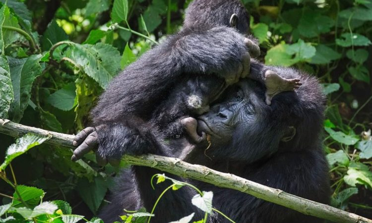 Why are Buhoma Gorilla Permits Scarce