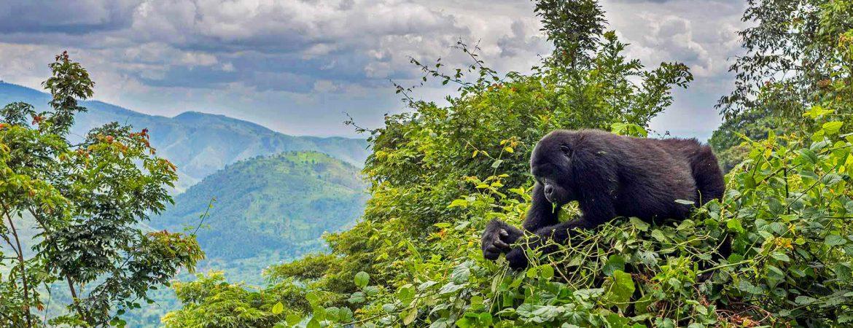 BEST Gorilla Trekking Cheat Code & Guide (2020 Infographic)